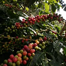 organic coffee non-gmo whole bean coffee