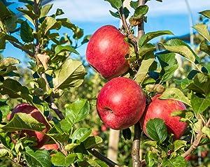 honeycrisp apples, apple, apple tree