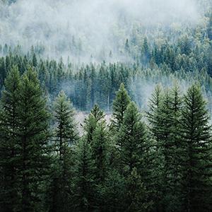 Wald, Holz, Finnische Kiefer