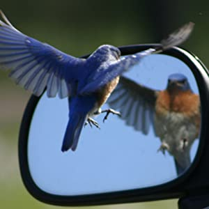 bird attacking it's reflection in a one way mirror because it sees it's reflection as a competitor