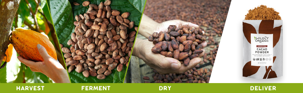 Cacao pods cacao beans cacao powder fermented fermentation fair trade fairtrade organic process