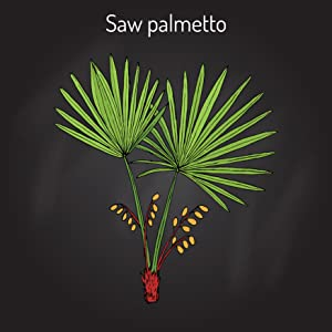 Graphic of a Saw Palmetto plant