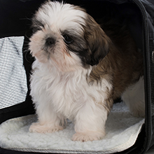 small dog in pet union pet carrier