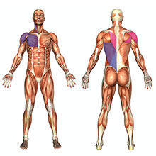 tonic muscles, muscles, posture