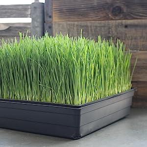 wheatgrass growing kit handy pantry minute soil