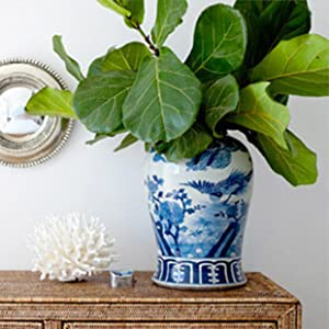 fiddle leaf figs, fiddle leaf fig resource center, plant lovers, plant experts, healthy plants
