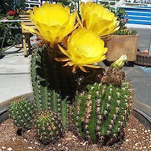 cactus in container