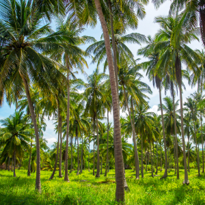 coconut oil forest