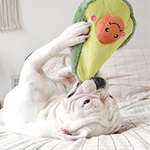 White dog playing with Avocado Zippypaws toy
