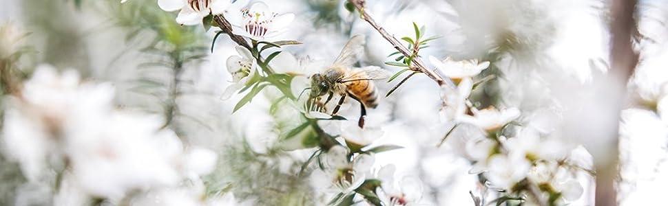 bee on a manuka flower