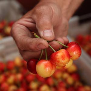Chukar Cherries Fresh Rainier Cherries before being naturally dried without added sugar