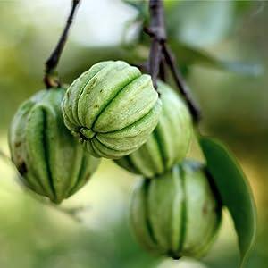 Garcinia cambogia growing on tree