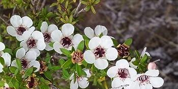 new zealand manuka honey flower native new zealand wild bush natural nature gift sets women men