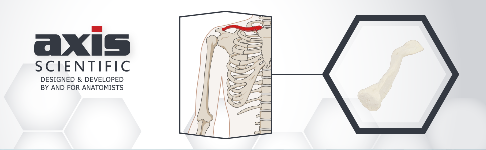 Axis Scientific Clavicle - Right