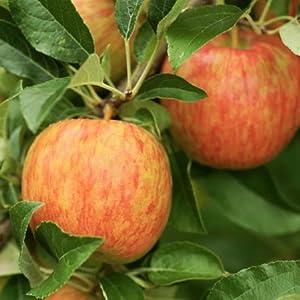 Honeycrisp apple tree, apple tree, tree
