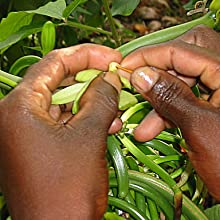 Hand pollinating of vanilla beans