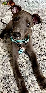 classic dog collar, dog accesories, pet training, reflective dog collar, padded dog collar