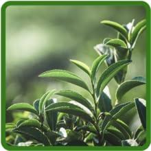 White Tea Extract