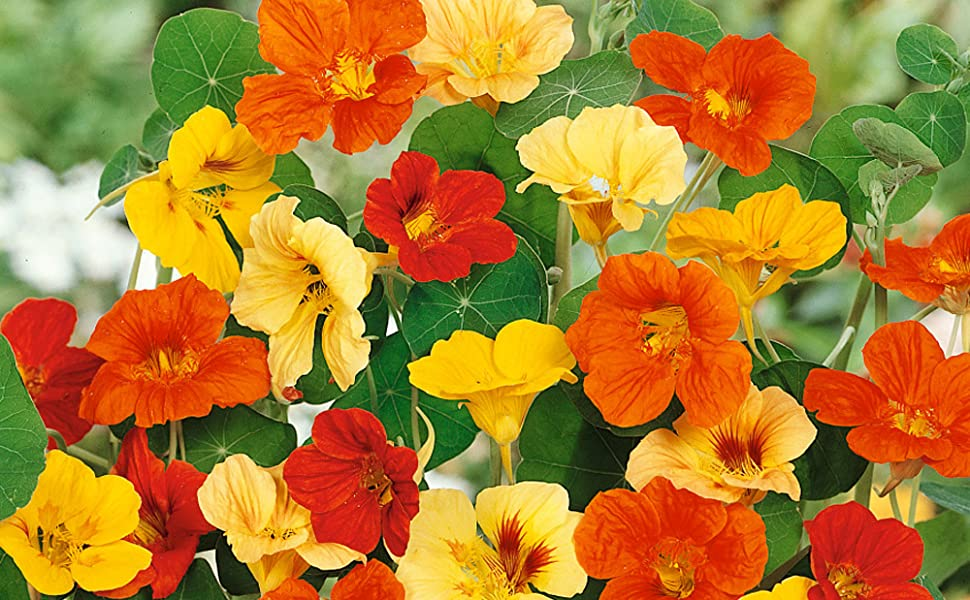 nasturtium seeds for planting