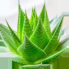 Aloe-vera
