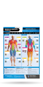 Muscle Groups & Exercises