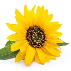Natural Face Cream with Sunflower from Gnarly Joe