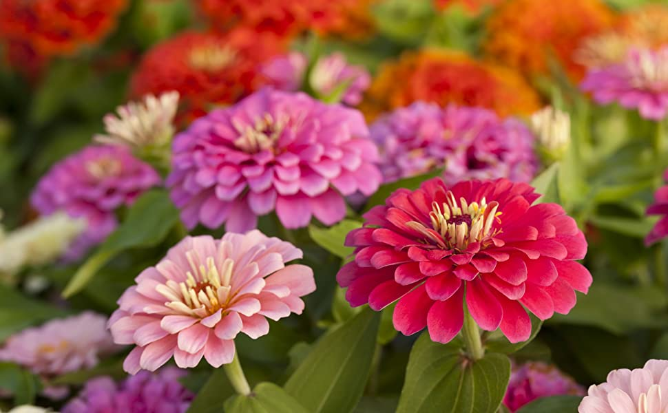 zinnia heirloom seeds for the garden flower seeds forget me not carnations rose seeds