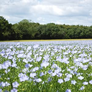 Flowering filed of flax used to make Huddleson's linen sheets