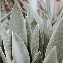 Aloe Vera Plant Used In Serums