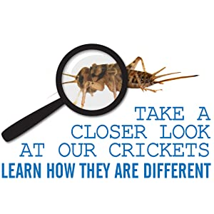 how banded crickets are different