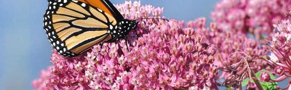Milkweed seeds for monarch butterfly