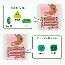 独自ブレンドした5種類の善玉菌は、胃酸や胆汁酸に強く、生きたまま小腸・大腸に届きます。