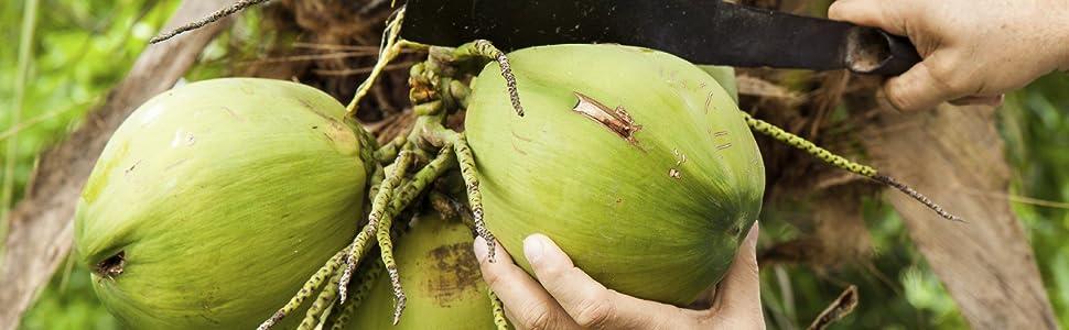 Coconut harvest image