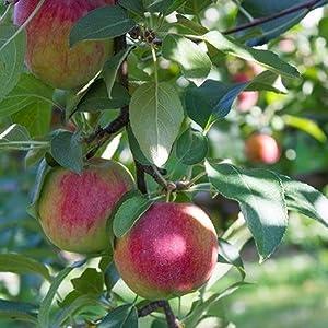 pink lady apples, apples, apple tree