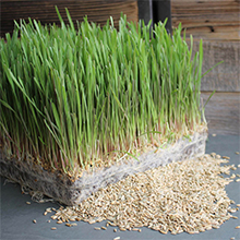 Rye grass and rye seeds growing outside of plastic growing trays
