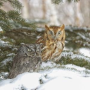 screech owl eastern western northern united states
