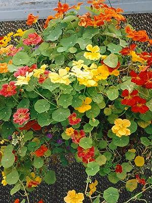 nasturtium jewel seed mix for planting