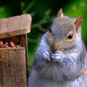 peanut munch box feeder with squirrel eating shelled red skin peanuts out of it