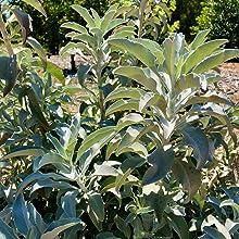 white sage perennial shrub sage-plant sage-seeds organic open pollenated non gmo