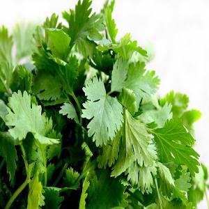 cilantro slow bolt , salad, microgreen , herb fresh cilantro