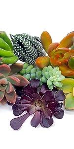 Succulents plants live