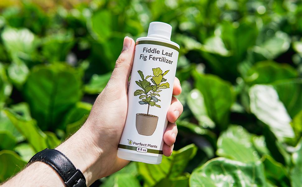 Fiddle Leaf Fig Liquid Fertilizer plant food Perfect Plants nursery
