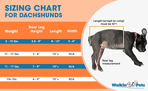 How to Measure a Dachshund for a Wheelchair