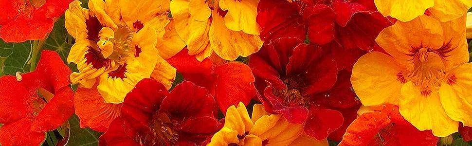 nasturtium seed mix for planting nasturtium jewel mix seed for planting outdoors