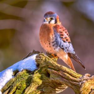 kestrel falcon bird beautiful colors nest feed seed breed