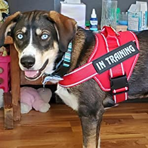 dog in training vest small