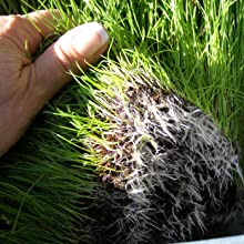 mycorrhizae-grass-roots