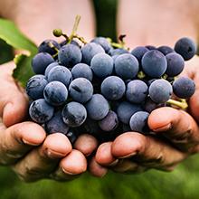 resveratrol rode wijn extract