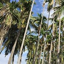 Areca Palm Trees