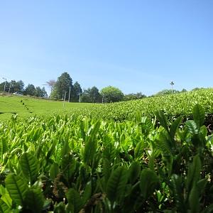 green tea Japanese Sencha Roasted green Tea Hojicha Twig Loose Leaf Green Weight loss Beauty Health